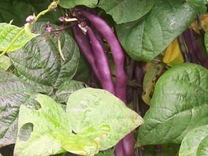 beans-pole-bluecoco